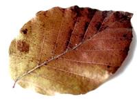 brown leave