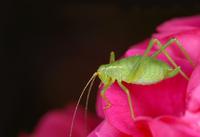 Grashopper on Rose 1