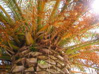 Palme - Palm Tree (Tenerife - Teneriffa)
