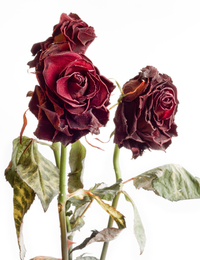 Withered roses 1
