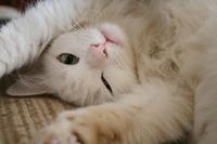 White Cat 4