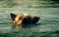 Swimming little dog