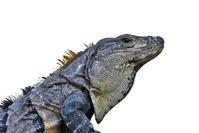 proud iguana
