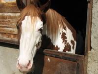 cavallo calabrese