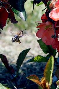 Bee Flying 2