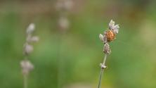 Lavandula Angustifolia and a spider