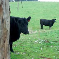 Cold Cows 3