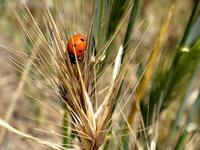 Ladybug & Wheat