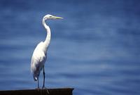 Lone heron 1