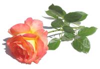 Rose 551