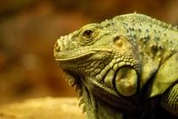The Lizard