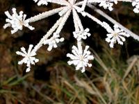 Ice flowers 8