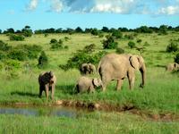 Wild Elephants at Masai Mara - Kenya