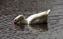 Duck 6