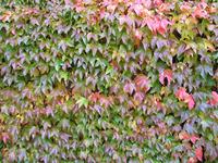 Autumn Ivy 1