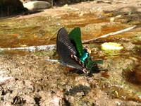 Drinking butterflies 3