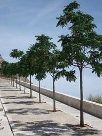 Aligned trees 1