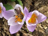 Bee & Crocus 1