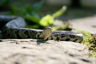 Eastern Milk Snake 3