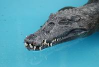 Alligators 2
