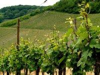 Winefields 1