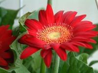 flowers - gerbera 3