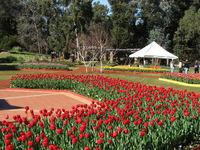 Araluen Park tulips 4