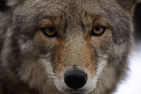 Coyote Up Close