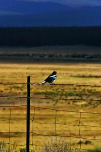 mountain bird