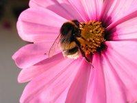 bumblebee on a cosmea
