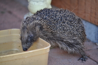 Thirsty Hedgehog