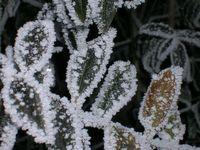 Frosty leaves 1