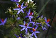 Tinsel Lily