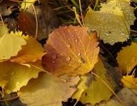 Poplar autumn leaves