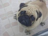 My Little pug
