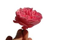 Pink flower 14