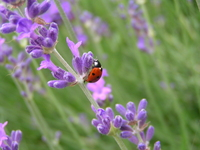 Lavender and ladybird