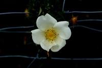Wired white flower
