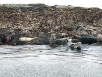 Seals at Holley Island Northumberland