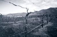 Cold Vineyard