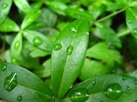 garden / rain drups