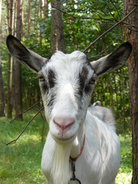 Family of goats 2