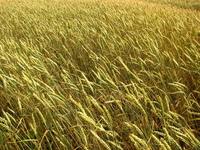 Grain crops 1
