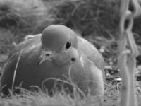 Pigeon 02