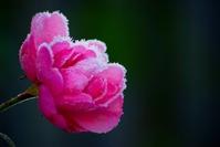 Frozen rose 1