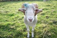 Ram in meadow 2