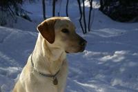 labradors in snow 4