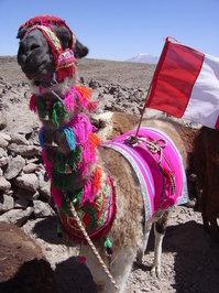 Lhama Peru