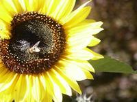 Black Forest Sunflower - Sonne