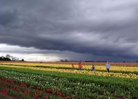 Tulip Farm 4